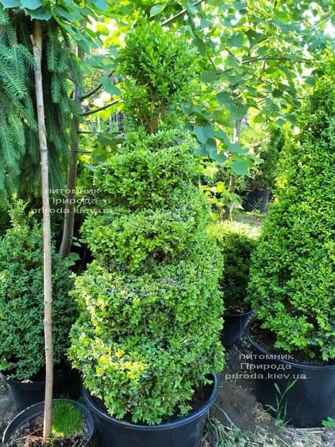 Самшит вечнозелёный Спираль (Buxus sempervirens Spiral) ФОТО Питомник растений Природа (Priroda) (2)