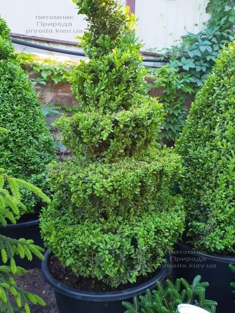 Самшит вечнозелёный Спираль (Buxus sempervirens Spiral) ФОТО Питомник растений Природа (Priroda) (3)