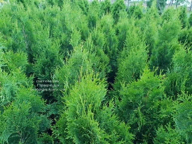 Туя западная Смарагд (Thuja occidentalis Smaragd) ФОТО Питомник растений Природа Priroda (107)
