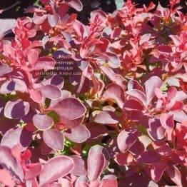 Барбарис Тунберга Файер Болл (Berberis thunbergii Fire Ball) ФОТО Питомник растений Природа (Priroda) (3)