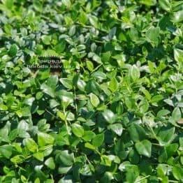 Барвінок (Vinca minor) ФОТО Розплідник рослин Природа (Priroda) (3)