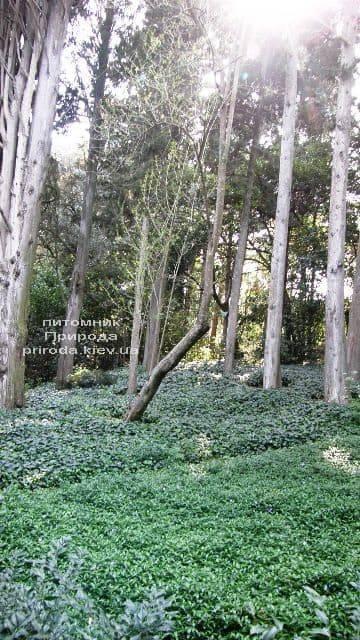 Барвинок (Vinca minor) ФОТО Питомник растений Природа (Priroda) (7)