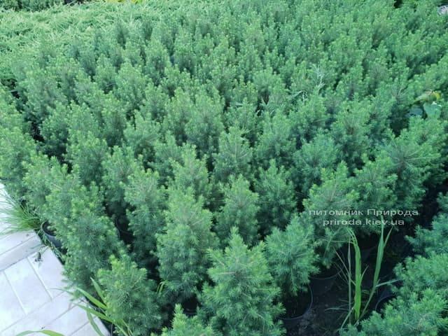 Ялина канадська Коніка (Picea glauca Conica) ФОТО Розплідник рослин Природа (Priroda) (1)