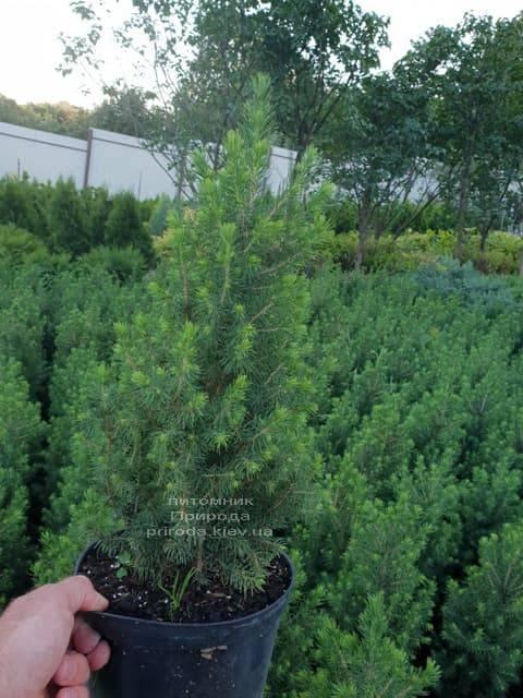 Ялина канадська Коніка (Picea glauca Conica) ФОТО Розплідник рослин Природа (Priroda) (2)