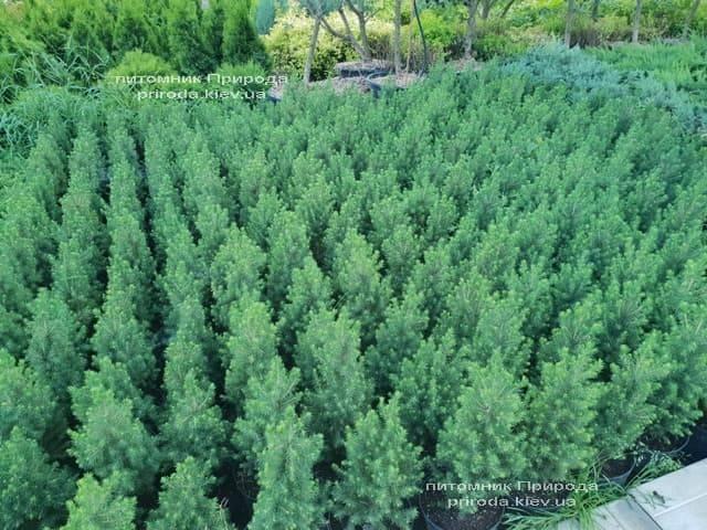 Ялина канадська Коніка (Picea glauca Conica) ФОТО Розплідник рослин Природа (Priroda) (3)