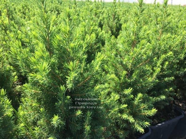 Ель канадская Коника (Picea glauca Conica) ФОТО Питомник растений Природа (Priroda) (5)