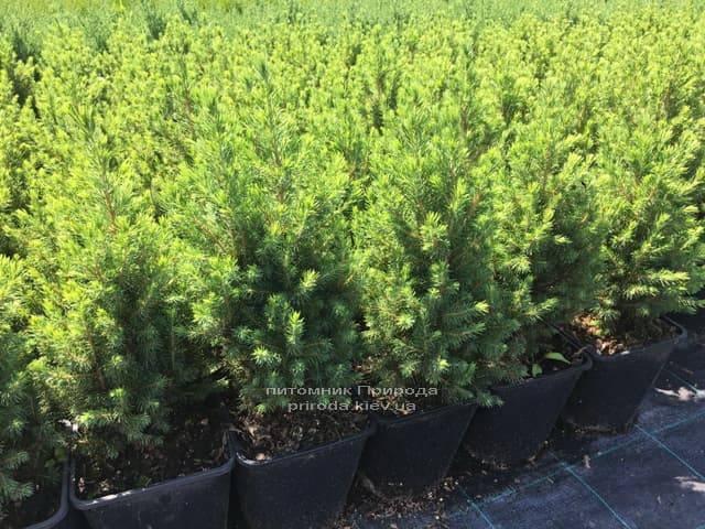 Ель канадская Коника (Picea glauca Conica) ФОТО Питомник растений Природа (Priroda) (6)