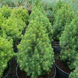 Ялина канадська Лаурин (Picea glauca Laurin) ФОТО Розплідник рослин Природа (Priroda) (1)