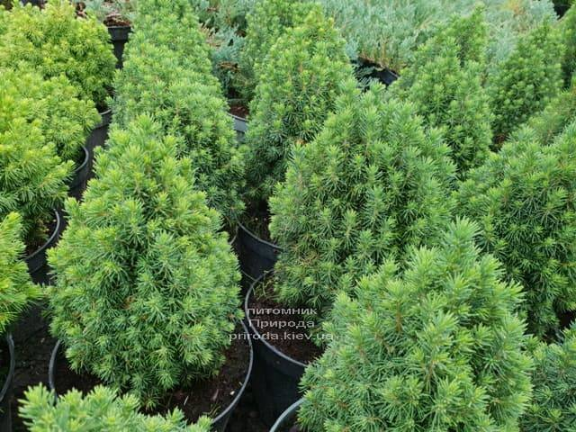 Ель канадская Лаурин (Picea glauca Laurin) ФОТО Питомник растений Природа (Priroda) (2)