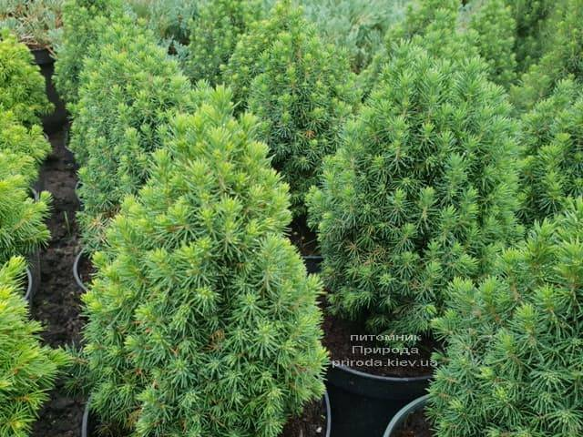 Ель канадская Лаурин (Picea glauca Laurin) ФОТО Питомник растений Природа (Priroda) (3)