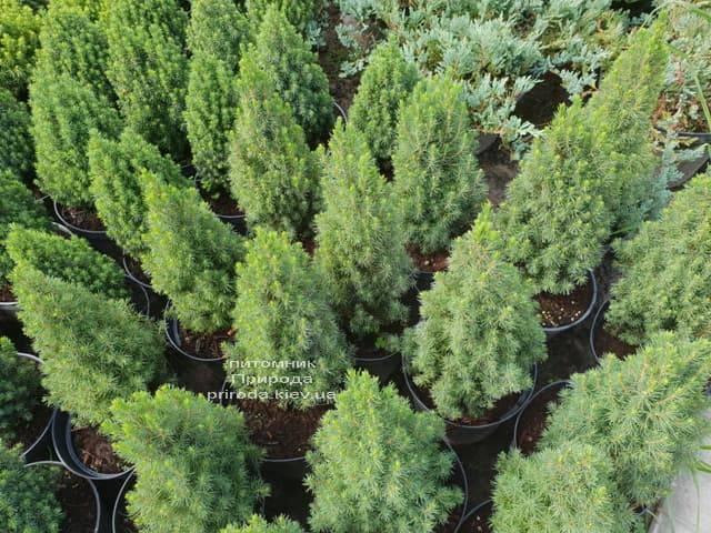 Ель канадская Цукерхут (Picea glauca Zuckerhut) ФОТО Питомник растений Природа (Priroda) (2)