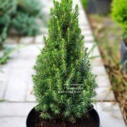 Ялина канадська Цукерхут (Picea glauca Zuckerhut) ФОТО Розплідник рослин Природа (Priroda)