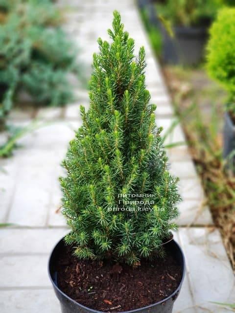 Ель канадская Цукерхут (Picea glauca Zuckerhut) ФОТО Питомник растений Природа (Priroda)