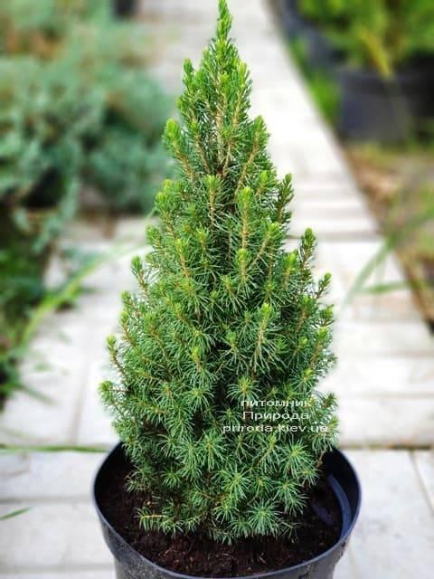 Ель канадская Цукерхут (Picea glauca Zuckerhut) ФОТО Питомник растений Природа (Priroda) (5)