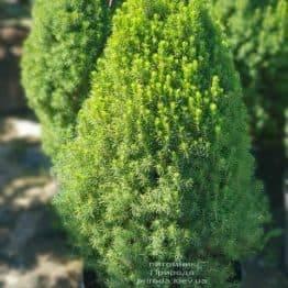 Ялина канадська Цукерхут (Picea glauca Zuckerhut) ФОТО Розплідник рослин Природа (Priroda) (1)