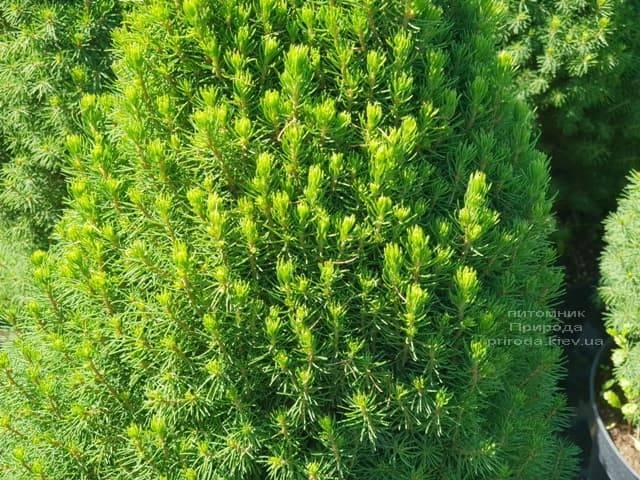 Ялина канадська Цукерхут (Picea glauca Zuckerhut) ФОТО Розплідник рослин Природа (Priroda) (2)