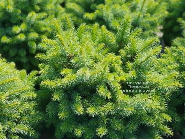 Ель ситхинская Тенас (Picea sitchensis Tenas) ФОТО Питомник растений Природа (Priroda)