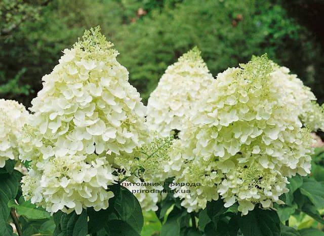 Гортензия метельчатая Мэджикал Мунлайт (Hydrangea paniculata Magical Moonligth) ФОТО (1)