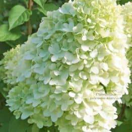 Гортензия метельчатая Мэджикал Мунлайт (Hydrangea paniculata Magical Moonligth) ФОТО (2)