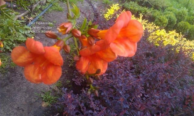Кампсис вкорінюється Флорида (Campsis radicans Florida) ФОТО Розплідник рослин Природа (Priroda) (1)