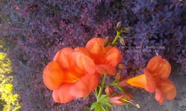 Кампсис вкорінюється Флорида (Campsis radicans Florida) ФОТО Розплідник рослин Природа (Priroda) (3)