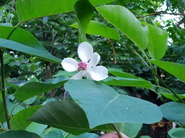 Магнолія Зибольда (Magnolia sieboldii) ФОТО Розплідник рослин Природа (Priroda) (6)