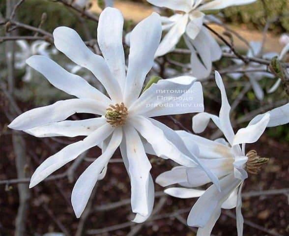 Магнолія Зірчаста (Magnolia stellata) ФОТО Розплідник рослин Природа (Priroda) (4)