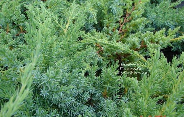 Можжевельник чешуйчатый Ханнеторп (Блю Швед) (Juniperus squamata Hunnetorp (Blue Swede)) ФОТО Питомник растений Природа (2)