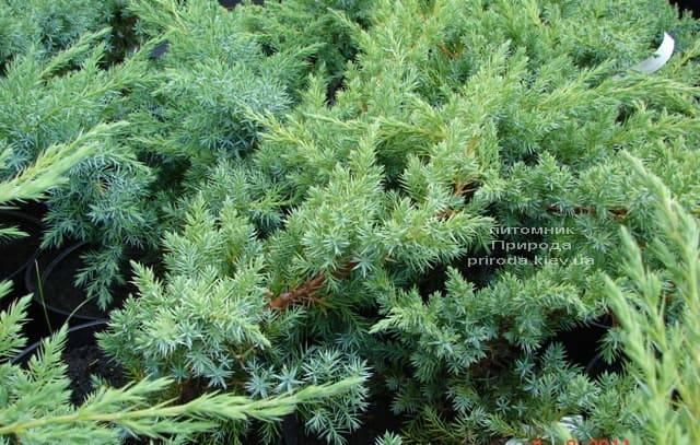 Можжевельник чешуйчатый Ханнеторп (Блю Швед) (Juniperus squamata Hunnetorp (Blue Swede)) ФОТО Питомник растений Природа (3)