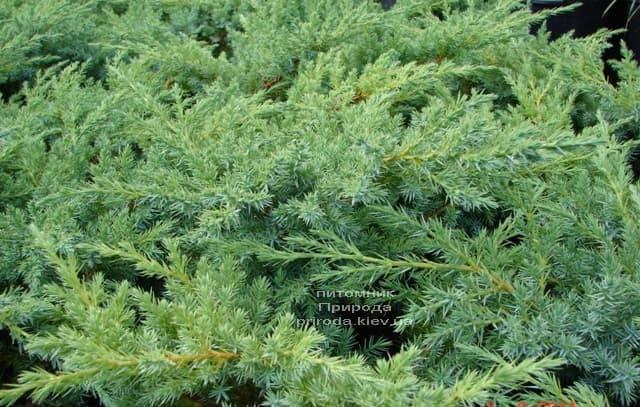 Можжевельник чешуйчатый Ханнеторп (Блю Швед) (Juniperus squamata Hunnetorp (Blue Swede)) ФОТО Питомник растений Природа (4)
