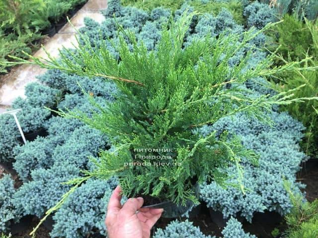 Ялівець середній / пфітцеріана Мінт Джулеп (Juniperus media / pfitzeriana Mint Julep) ФОТО Розплідник рослин Природа (Priroda) (1)