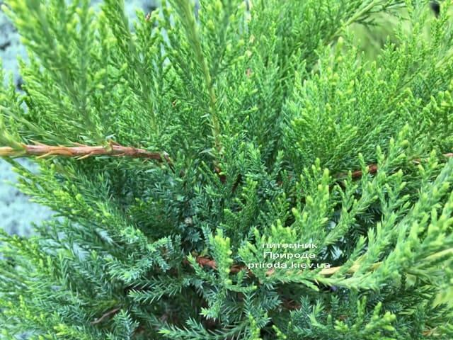 Можжевельник средний / пфитцериана Минт Джулеп (Juniperus media / pfitzeriana Mint Julep) ФОТО Питомник растений Природа (Priroda) (2)
