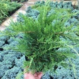 Можжевельник средний / пфитцериана Минт Джулеп (Juniperus media / pfitzeriana Mint Julep) ФОТО Питомник растений Природа (Priroda) (4)