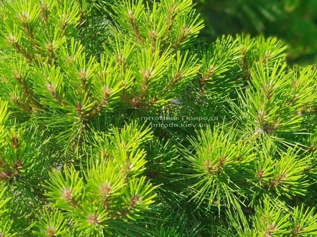 Сосна чёрная Джоска (Pinus nigra Joska) ФОТО Питомник растений Природа (Priroda) (3)
