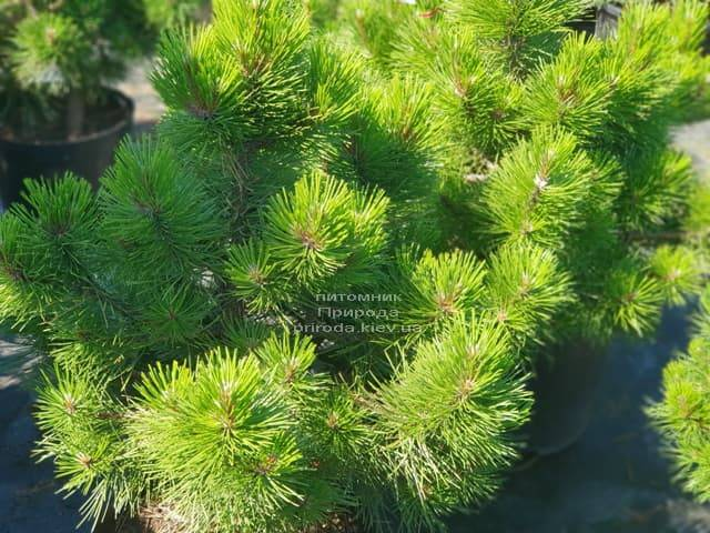 Сосна чёрная Вурстле (Pinus nigra Wurstle) ФОТО Питомник растений Природа (Priroda) (1)