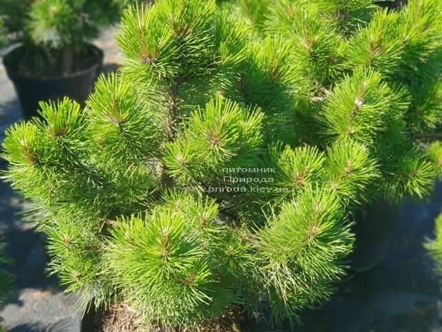 Сосна чёрная Вурстле (Pinus nigra Wurstle) ФОТО Питомник растений Природа (Priroda) (2)