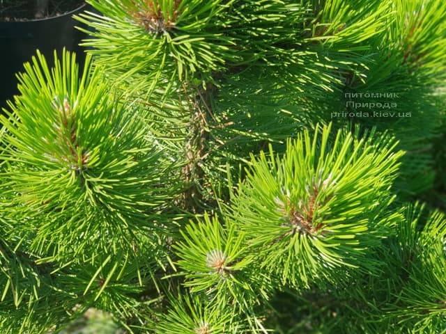 Сосна чёрная Вурстле (Pinus nigra Wurstle) ФОТО Питомник растений Природа (Priroda) (3)
