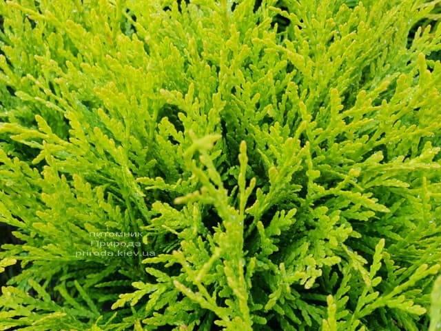 Туя западная шаровидная Голден Глоб (Thuja occidentalis Golden Globe) ФОТО Питомник растений Природа (1)