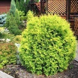 Туя західна куляста Голден Глоб (Thuja occidentalis Golden Globe) ФОТО Розплідник рослин Природа (5)