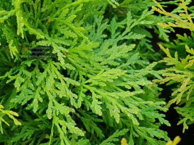 Туя западная шаровидная Селена (Thuja occidentalis Selena) ФОТО Питомник растений Природа (2)