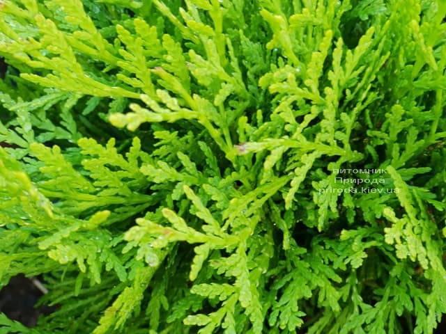 Туя западная шаровидная Селена (Thuja occidentalis Selena) ФОТО Питомник растений Природа (3)