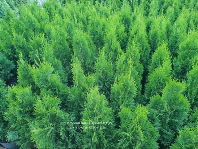 Туя західна Смарагд (Thuja occidentalis Smaragd) ФОТО Розплідник рослин Природа (7)
