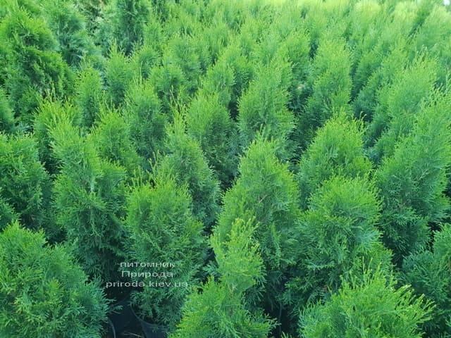 Туя західна Смарагд (Thuja occidentalis Smaragd) ФОТО Розплідник рослин Природа (8)
