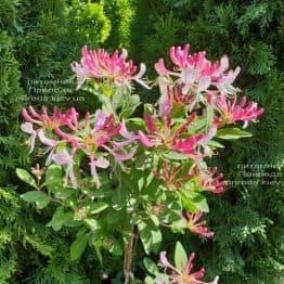 Жимолость кучерява (Lonicera periclymenum) ФОТО Розплідник рослин Природа (Priroda) (1)
