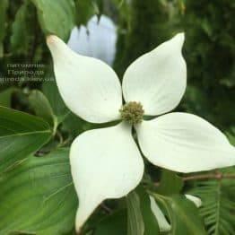 Дерен Коуза (Китайська) (Cornus kousa) ФОТО Розплідник рослин Природа (5)
