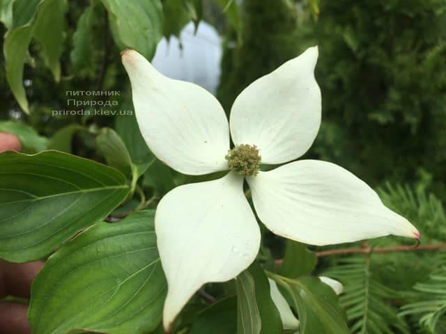 Дерен Коуза (Китайский) (Cornus kousa) ФОТО Питомник растений Природа (5)