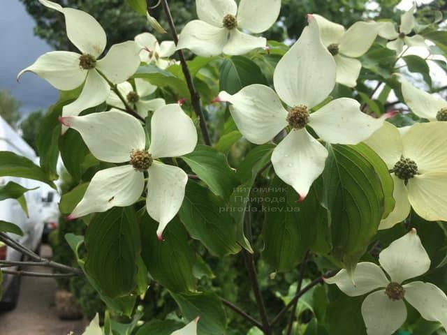 Дерен Коуза (Китайский) (Cornus kousa) ФОТО Питомник растений Природа (6)