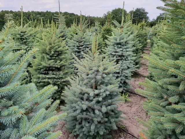 Ялина блакитна Глаука (Picea pungens Glauca) ФОТО Розплідник рослин Природа (1)
