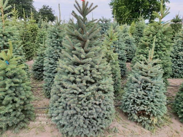 Ялина блакитна Глаука (Picea pungens Glauca) ФОТО Розплідник рослин Природа (10)