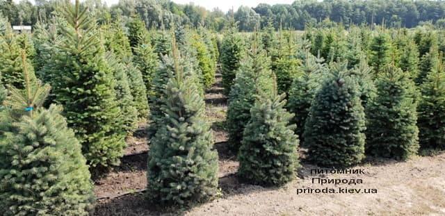 Ель голубая Глаука (Picea pungens Glauca) ФОТО Питомник растений Природа (12)